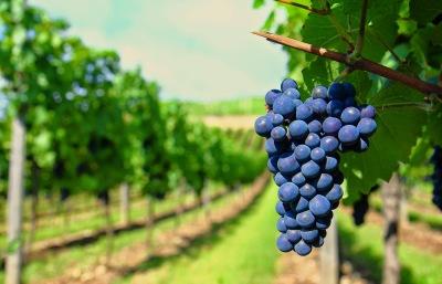 Uvas que se utilizan para crear vino